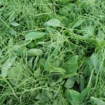Pea Tendrils or Gorgeous Greens in 2 minutes!